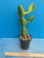 Euphorbia antiquorum Collector Plant Division Fast Growing 4 Inch (15)