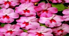 Impatiens Seeds Cascade Beauty Cherry Splash (trailing) 50 FLOWER SEEDS