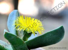 Rare Pleiospilos Bolusii succulent mesembs rock living stones rock seed 20 Seeds