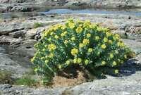 100 Samen Rhodiola rosea, Rosenwurz, seltene Heilpflanze