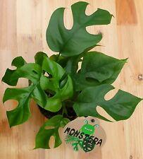 Rhaphidophora tetrasperma - Monstera minima - Kleines Fensterblatt Pflanze