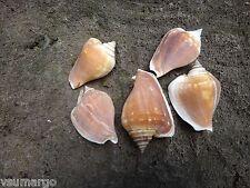 5 pcs Strombus Turturella Shells