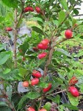 Miracle Fruit Tree Plant - 1 Gallon
