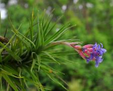 Tillandsia bergeri - BEAUTIFUL BLOOMER - blooming size offset