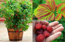 "SEEDS - Self-pollinating ""Caroline Red"" Dwarf Raspberry Upright Cane Variety"