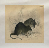 Vintage Rat Picture Printed On Fabric Panel Make A Cushion Upholstery Craft