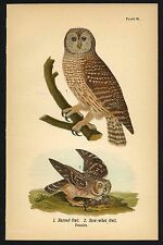 BARRED, SAW-WHET OWL, Vintage 1890 Chromolithograph, Color Print, Antique, 087