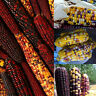 New Delicious Colorful 40pcs Rare Glass Gem Landrace Corn Seeds Vegetable Seed