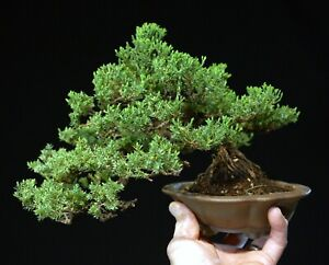 Bonsai Tree Pro-Nana Green Mound Juniper GMJST-322