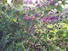Wiri Pepper Wiri Wiri Pepper Seeds The Hottest And Tastiest Pepper Origin Guyana