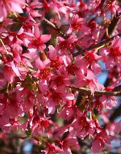 2 Okame Cherry Trees(Prunus Okame)