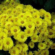 100 YELLOW ASTER Peony Callistephus Flower Seeds Home Big Bloom Garden Annual