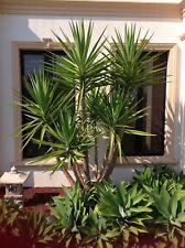 Yucca Yukka Plant