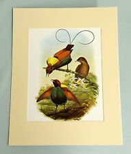 MAGNIFICENT BIRD OF PARADISE ORIGINAL PLATE Vintage Lithograph Print