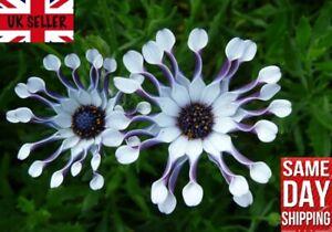 RARE Blue Daisy Osteospermum Whirligig 10 FRESH Seeds - Same Day Dispatch