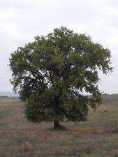 2 Rare European Downy Oak Live Seedlings (Quercus pubescens) 12-18�
