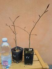 Fagus sylvatica, Faggio europeo, pianta, albero, prebonsai, coppia, esemplari