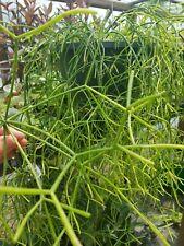 Stick Plant/Mistletoe Cactus 6 Cuttings