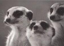 (48164) Postcard Meercats - unposted