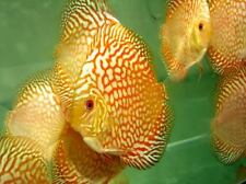 """x2 GOLD PIGEON BLOOD DISCUS PACKAGE 2"""" - 3"""" EACH - TANK RAISED - FREE SHIPPING"""