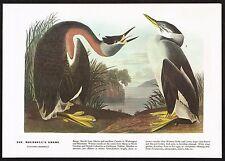 1930s Original Vintage Audubon Holboells Grebe Bird Limited Edition Art Print