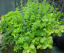 Herbs 6 Varieties Seeds Dill Parsley Cilantro Chive Oregano Basil COMBINED/SHIP