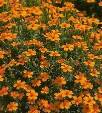 Studentenblume Tagetes Gnom einjährig Höhe 30 cm Samen