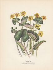Marsh Marigold Wild Flower Vintage Botanical Art Print 1954 Edith F Johnston