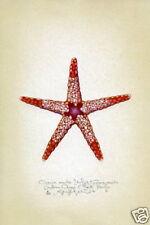 Ocean Sea ORANGE MARBLE STARFISH original MEDIUM SIZE limitd editon SIGNED print