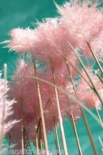 GIANT PINK PAMPAS GRASS Cortaderia Ornamental Huge Tall Plumes Hardy 50 Seeds