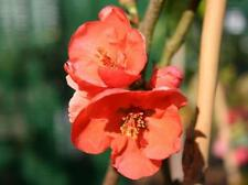 """20 Japanese Quince Seeds - Chaenomeles speciosa """" Knap hill scarlet """""""