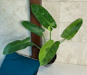 "Philodendron Jose buono ""Very Rare Aroid"""