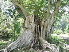 Ficus religiosa, Pepul-Baum, Buddha-Baum,Pepul Tree, Bo-Tree, 50 seeds