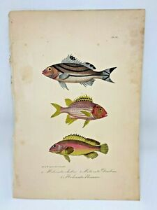 Fish Plate 93 Lacepede 1832 Hand Colored Natural History