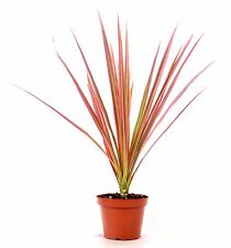 "Live Red Cordyline 'Red Star' - 4"" Pot House Plants Gift Holiday Easy Care Hardy"