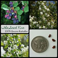 10+ SASKATOON SERVICEBERRY SEEDS (Amelanchier alnifolia) Canadian Edible Berry
