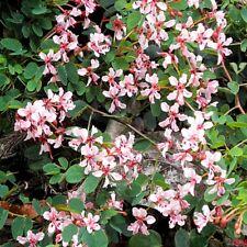 Bauhinia corymbosa (5 Seeds/graines)