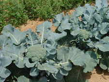 GIANT RUSSIAN BROCCOLI * HUGE YIELDS * 100 SEEDS