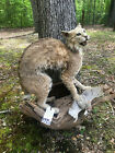 Awesome looking Bobcat Mount with a Quail, Log Cabin Hunting Lodge Taxidermy
