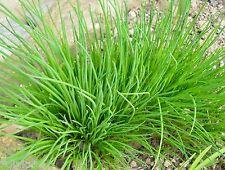 Schnittlauch Allium schoenoprasum Kräuter Gewürz mehrjährig 100 Samen