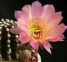 ECHINOPSIS JOLLY BLOSSUM hardy flowering spineless cactus succulent plant 70mm