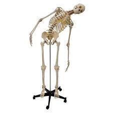 Rüdiger Anatomie flexibles Homo-Skelett (A200.2)