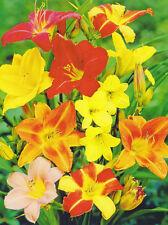 "5 Taglilien gemischt  Hemerocallis Taglilie ""5 Wurzelstöcke"" Winterhart Staude"