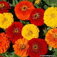 Zinnia- Elegans-Lava Lamp Mix- 100 Seeds