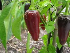 Jalapeno Purple lila-negra Chili afrutado-afilados Chilli