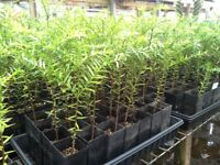 Araucaria bidwillii - 2 Bunya Bunya Seelings - Australian Monkey Puzzle 2 (Two)