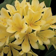 Yellow Fire Lily - Good Hope Clivia - 1 Plant - 6 or More Leaves -Ship Bare Root