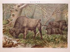 Lithographie Wisent, Zoologie, Säugetiere, Brockhaus 1901-1905