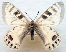 Parnassius charltonius romanovi - Aberration (Kirgizia), male, A1+ quality