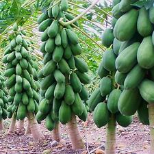 6Pc Home Garden Maradol Papaya Seeds Vegetable Fruit Tree Plants Seeds Outdoor